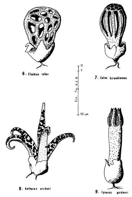 Clathrus archeri